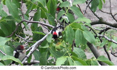 woodpeckers eat the walnut at the tree