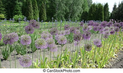 great garlic blooms - round decorative great garlic Allium...