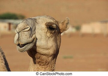 Camel smiles - Camels in Love A Kiss in the desert between...