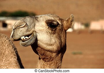Smiling Camel - A camel smiling at the camera in the Wahiba...