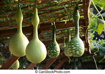 Bottle gourds on their plants