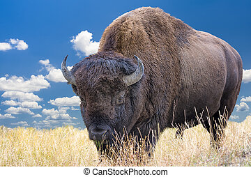 Wyoming Bison - Adult bison grazing in Yellowstone National...