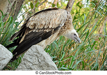vulture - Vulture is scavenger on carcasses of dead animals...