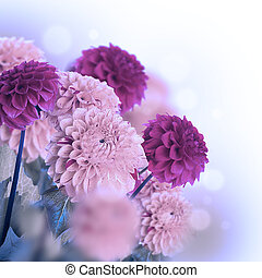 Colorful autumn chrysanthemums with flares, floral...