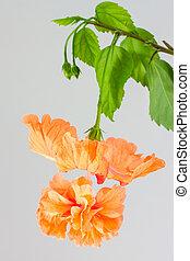 Orange hibiscus and leaf