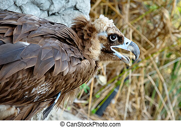 Black Vultures are scavenging birds at large.