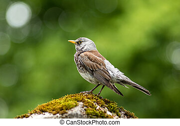 Adult fieldfare - Adult Fieldfare sitting on a stone