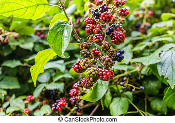 Red and black blackberries - Red and black wild blackberries...