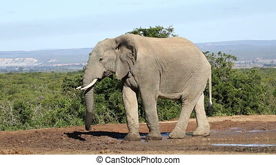 African elephant and warthog - An African elephant Loxodonta...