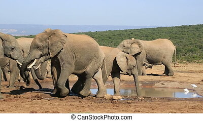 African elephants at waterhole