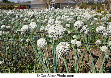Onion flower - Onion field in flowering stage
