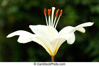 side view of white flower Lilium candidum (Madonna Lily)...