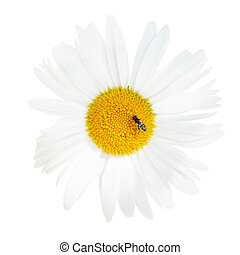 Ox-eye daisy flower with fly close up isolated - decorative...