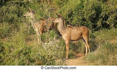 Alert kudu antelopes (Tragelaphus strepsiceros) in dense...