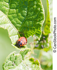 colorado potato beetle larva in potatoes leaves in garden