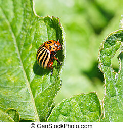 colorado potato bug eats potatoes leaves in garden