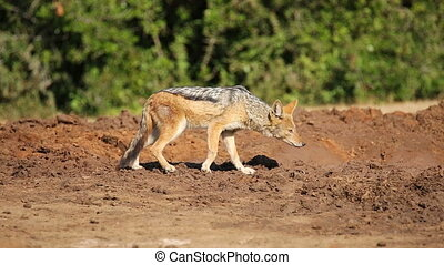Wary black-backed Jackal