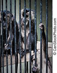 monkies - wild