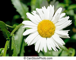 Ox-eye daisy flower close up on green meadow - decorative...
