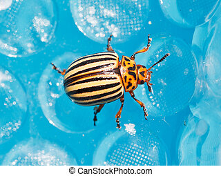 colorado potato beetle close up - colorado potato beetle on...