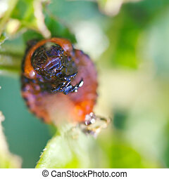 larva of colorado potato beetle on potatoes