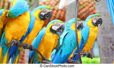 group of shouting colorful parrot macaw - group of colorful...