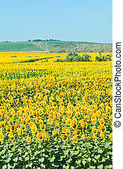 sunflower field in hills in summer