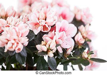 florescer, cream-white, azaleas, grau, Mevrouw, Gerard,...