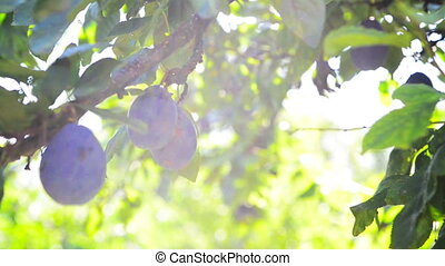 Ripe plum fruit on a branch in orchard on a bright summer...