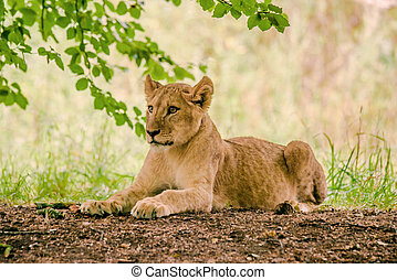 Young lion taken a rest in the forest