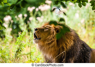 Big male lion roaring in a green forest
