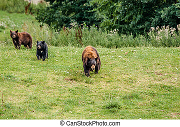 Family of american black bears on a meadow