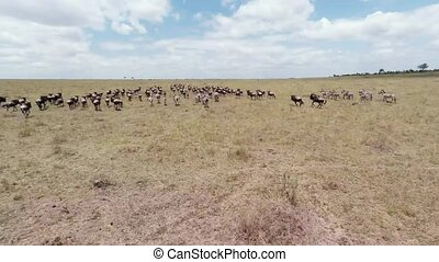 Migration of Wildebeest. Aerial. - Aerial shot of wildebeest...