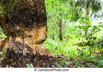 Beaver work - Tree chewed by beaver at forest