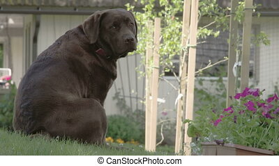 The cute black labrador retriever sitting down the hill The...