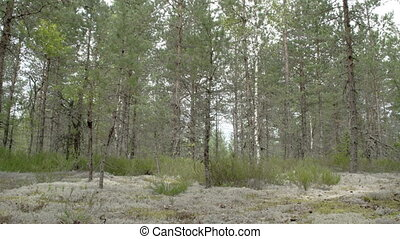 Tall pine trees surrounding lots of cup lichen on the ground...