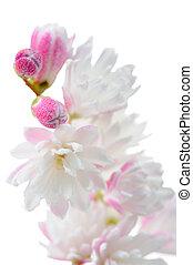 Elegant Pinkish White Fuzzy Deutzia Flowers Close-Up on...