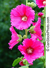 hollyhock - pink full-blown hollyhock on green background