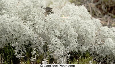 The cotton balls like cup lichen sprouting in the forest Cup...