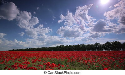 Poppy field Panorama - Panoramic shot of a poppy field