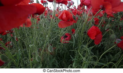 Poppy field. - Poppy Field in a beautiful sunny day