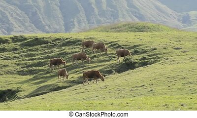 Cows walking while eating grass on green highland