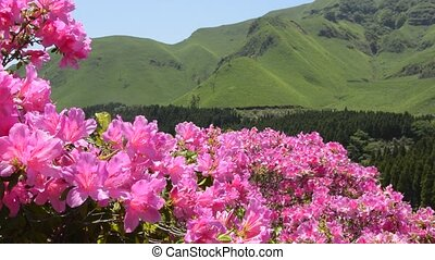 Pink azalea field - Full blossoming bright pink azalea field...