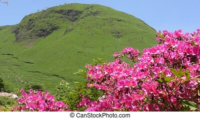 Pink azalea and hill - Bright pink azalea flowers in front...