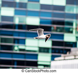 Laughing Gull flying at Salford Quays, Manchester.