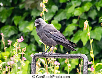 Jackdaw Corvus monedula standing on a cycle rack Green...