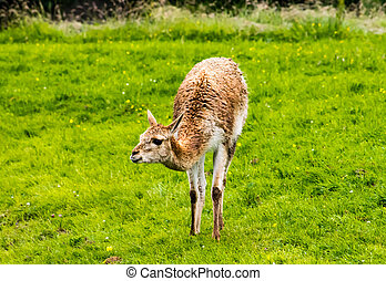 Guanaco Lama guanicoe, standing on a grass