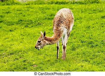 Guanaco Lama guanicoe, head profile from side