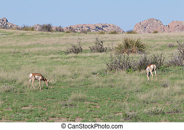 Pronghorn Does - pronghorn antelope does on the prairie