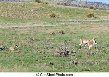 Pronghorn Antelope Does - pronghorn antelope does on the...